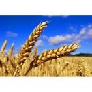 Le grain de blé et le laboureur