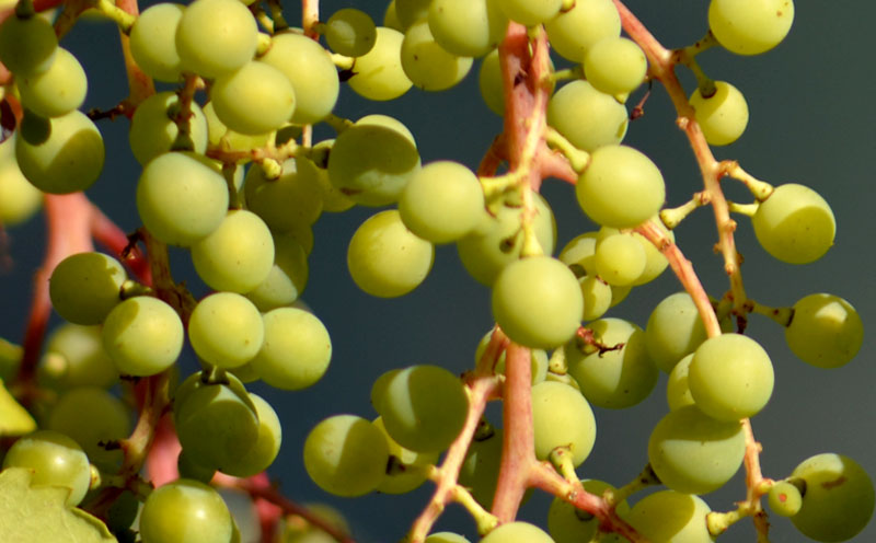 Space -Wild Grapes