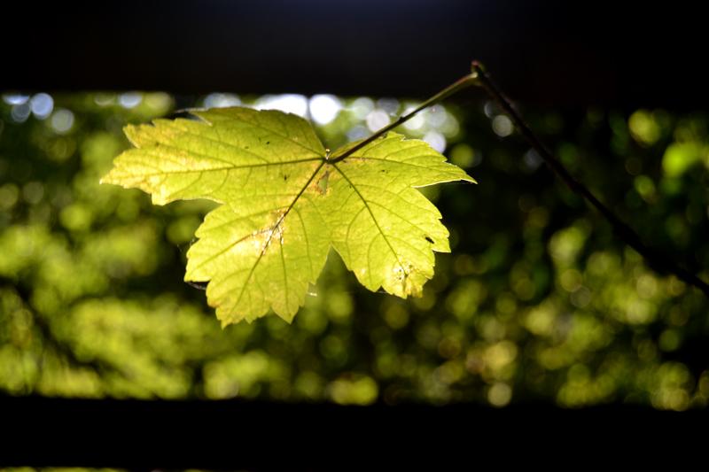 Leaf's Dream of Widescreen