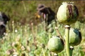 poppy-plant