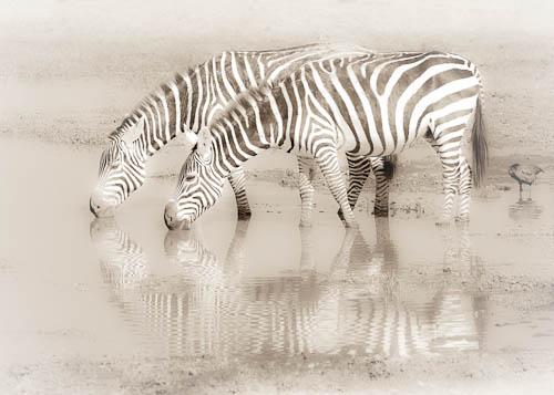 Zebras, Amboseli National Park, Kenya, East Africa
