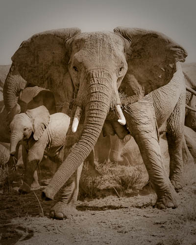 Elephants, Serengeti National Park, Tanzania, East Africa