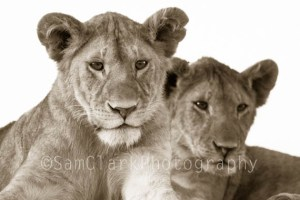 Lion Cubs, Serengeti National Park, Tanzania, East Africa