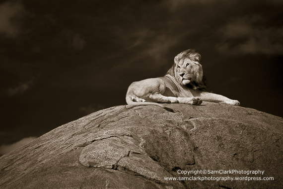 Lion on rock outlook – Number 2/100