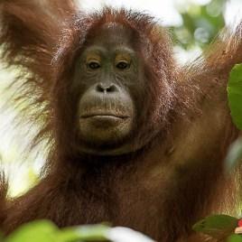 OB 2017-06 Borneo