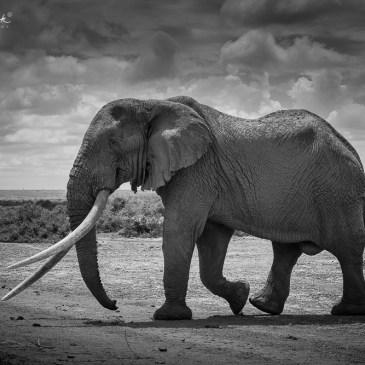 Big Tuskers, Kenya