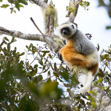 Diademed Sifakas (critically endangered)