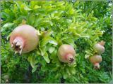 Nutzpflanzen Samen
