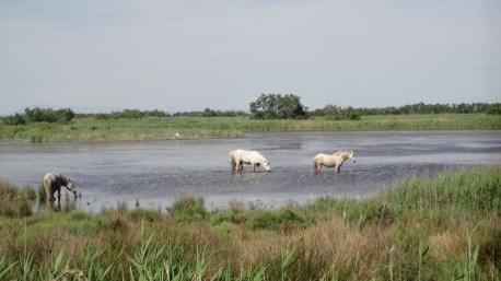 Camargue Pferde
