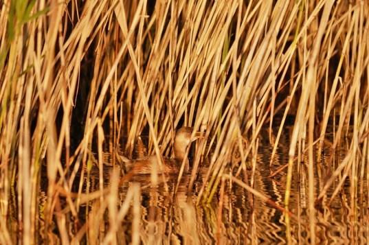 AktNatBeo-201024-ja-5_Zwergtaucher-1140pix