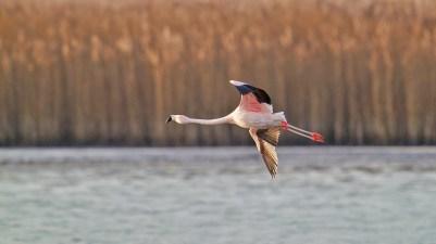 AktNatBeo-201229-ka-Chile-Flamingo-50774845743_8707bfc6ac_k-1500pix