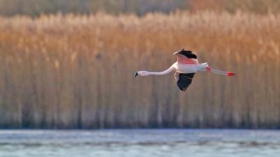 AktNatBeo-201229-ka-Chile-Flamingo-50775709997_f1ccb4240c_k-1500pix