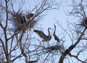 herons mating