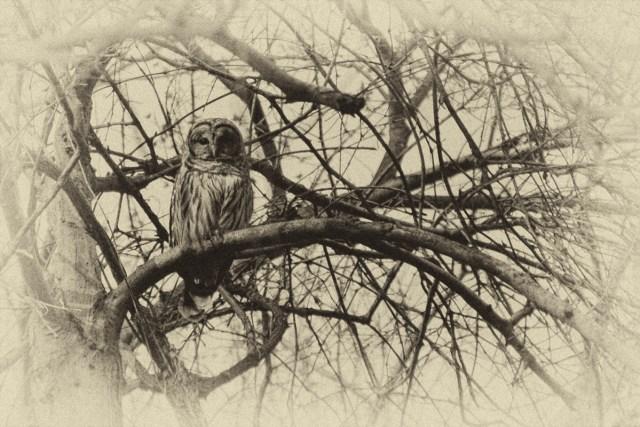 Owl - By Sam Meddis