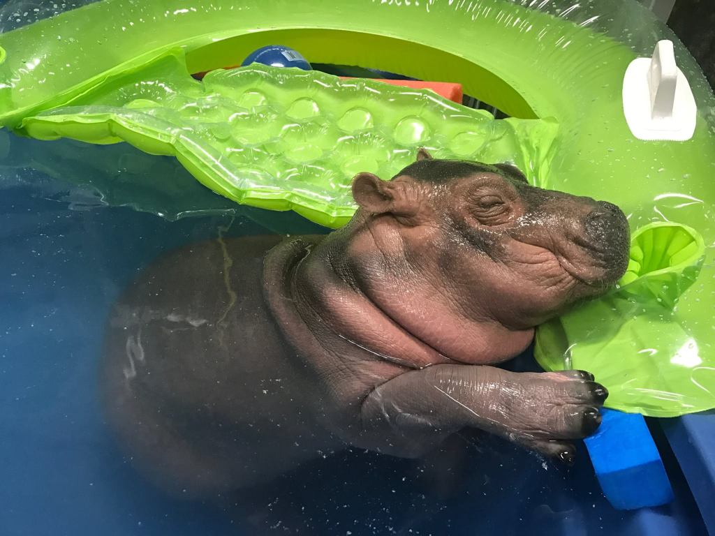 This Baby Hippo Taking a Shower Will Give You All the Happies
