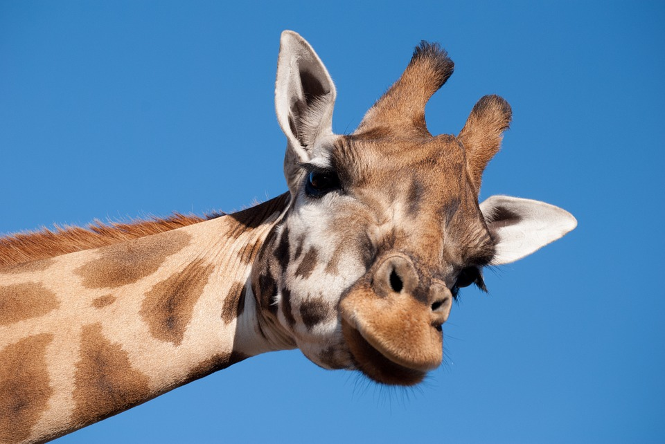 """Relieved Father, Oliver the Giraffe, Will """"Never Go Through That Whole Ordeal Again"""""""