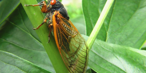 Gazillions of Cicadas Are Preparing To Invade The U.S. And 2020 Just Needs To Be Over