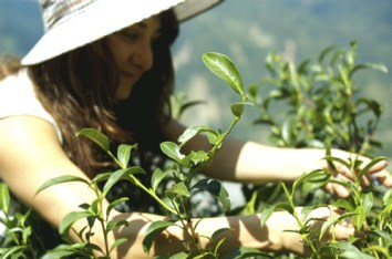 Jodet Picking Tealeaves in Taiwan