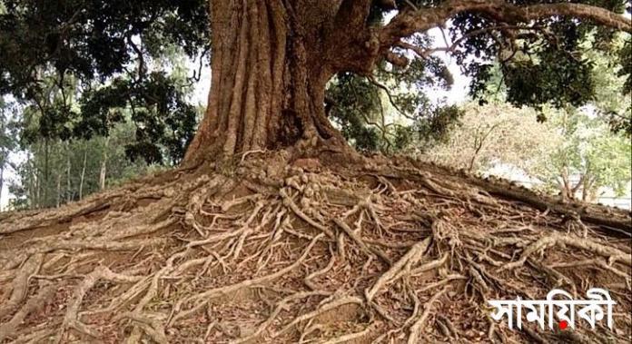 1 11 নাটোরের প্রাচীনতম অচিন বৃক্ষ সংরক্ষণে উদ্যোগ জরুরী: জুনাইদ আহমেদ পলক