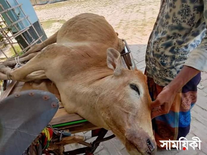 FB IMG 1619865327297 রামপালে ভেড়ীতে গরু যাওয়ায় পিটিয়ে মারলেন ঘের মালিক