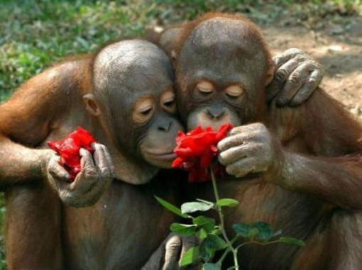 chimpanzee proposing on valentine day - Valentines Animals