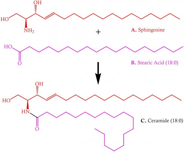 Sphingosine and stearic acid = ceramide (18,0)