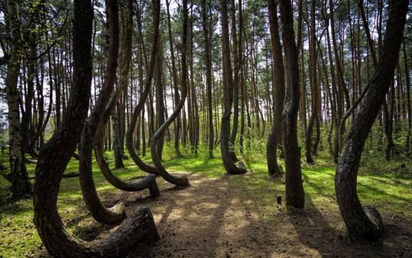 Polanya'da 400 bükülü ağaç