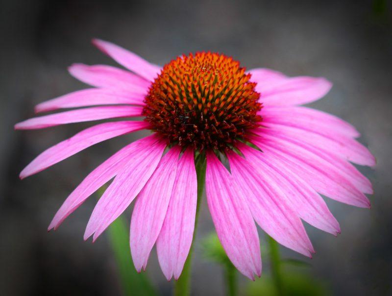 L'échinacée pourpre, la plante de l'hiver