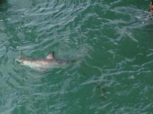 A great white shark was hooked by a fisherman on the San Clemente Pier on June 28. Photo: Rocky Neidhardrt-Pier Shack