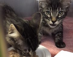 A couple of kittens transferred from animal shelters where wildfires have threatened their location. Photo: Courtesy of Kim Cholodenko
