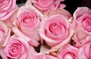 roses-366181_1280