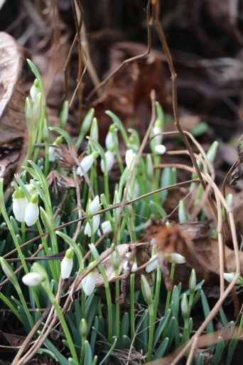 Snowdrops burst forth in February, first signs of Spring