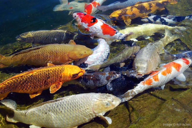koi fish add ambiance