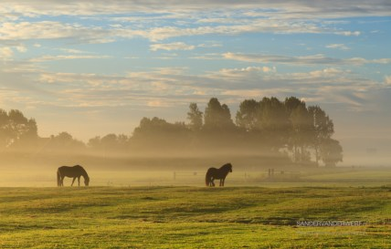 Horses in a foggy meadow in autumn.