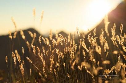 Grass waving in the wind during a sunset in the Swiss mountains.