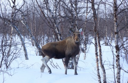 Moose in the snow on Kungsleden trail in winter