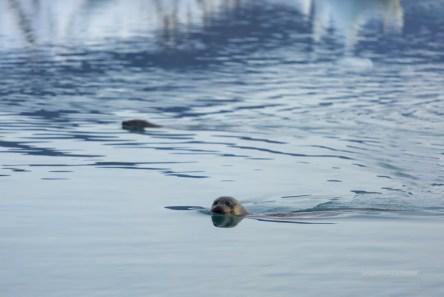 Twq seals in the lake of Jokulsarlon.