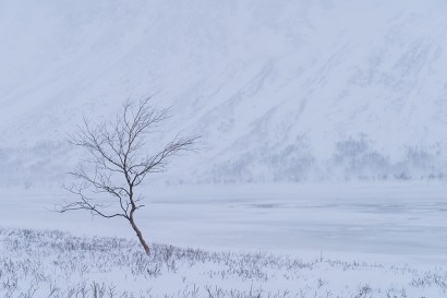 A lone birch tree in a snow covered valley in Laponia. Rapadalen, Sarek.
