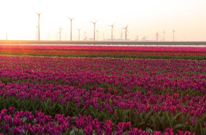 Field of tulips and wind turbines in the distance during a clorful sunrise in the Dutch countryside.