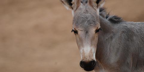 Somali Wild Ass - Safari Park