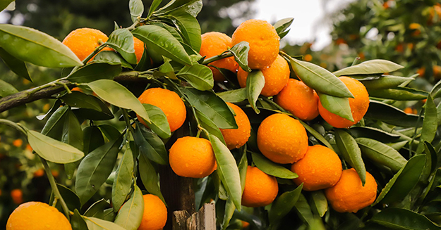 What S The Difference Between Oranges Mandarins Satsumas