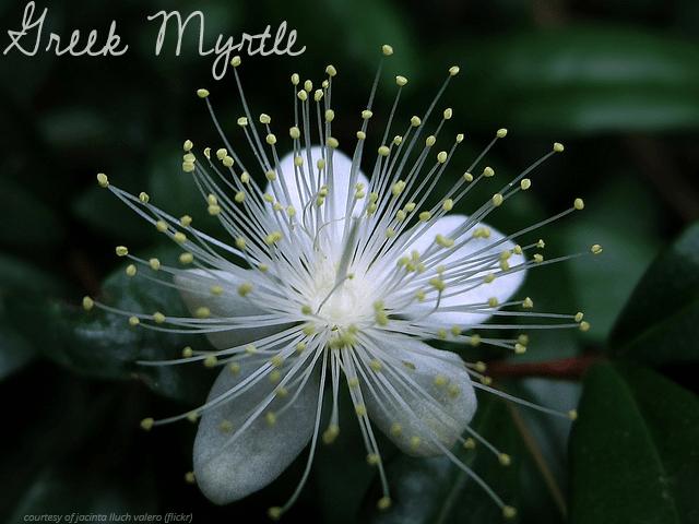 Order Greek Myrtle Myrtus communis Seeds
