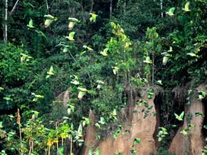 chuncho Macaw Clay Lick tambopata reserve sandoval lake lodge amazon peru