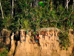 chuncho Macaw Clay Lick tambopata reserve sandoval lake lodge with jungle trips