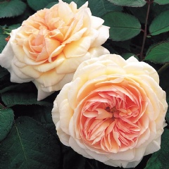 A Shropshire Lad [photo: David Austin Roses]