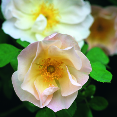 Shropshire Lass [photo: David Austin Roses]