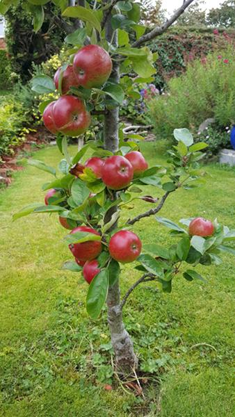 Sandra Healy Designs Apple Tree