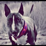 Halsband Bulldogge Bulli