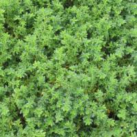 Herniaria glabra | Sandy's Plants