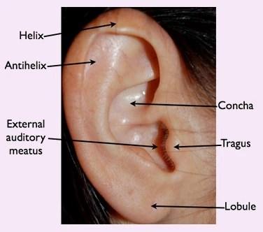 different ear piercings diagram wiring wiper motor cosmetic surgery otoplasty normal anatomy